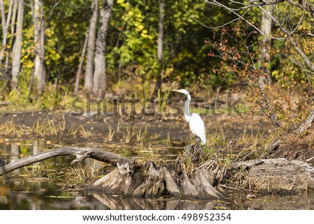 A juvenile Egret in a pond