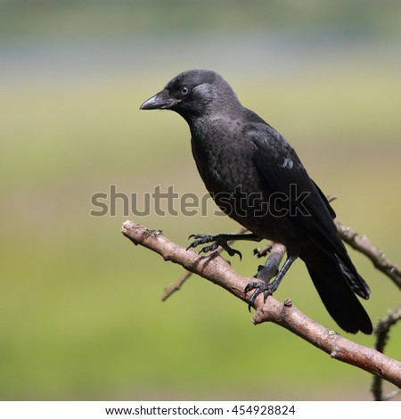 A Juvenile Eurasian Jackdaw, also known as Western Jackdaw or simply Jackdaw perched on a bare branch - stock photo