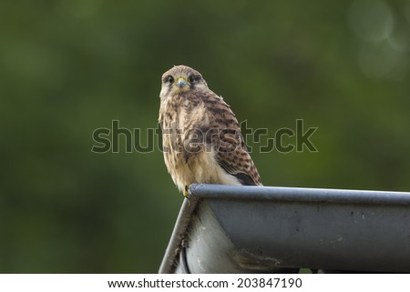 A juvenile female Kestrel in a roof-gutter. - stock photo