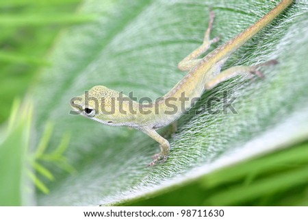 A juvenile green anole (Anolis carolinensis) stands on a green leaf. - stock photo