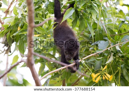 A juvenile howler monkey foraging for food