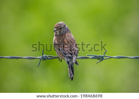 A  Juvenile Linnet (Carduelis cannabina) on a Barbed Wire - stock photo