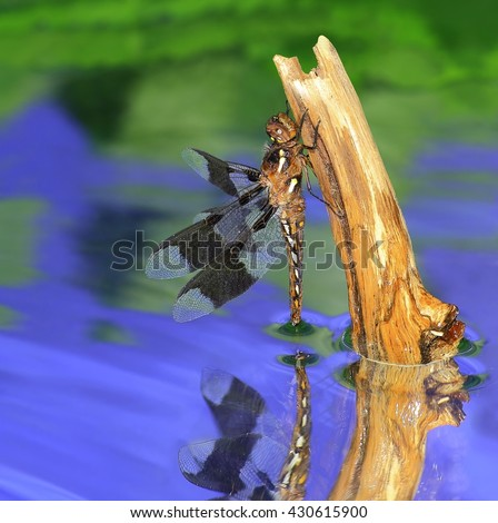 A juvenile male Common Whitetail dragonfly (Plathemis Lydia) and its reflection in a pond. - stock photo