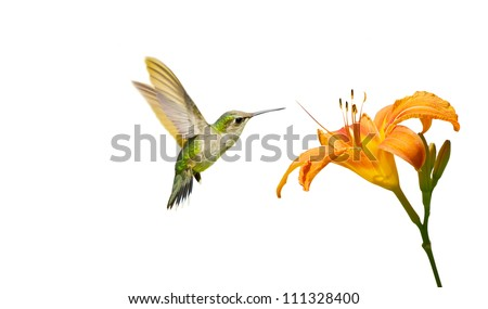 A juvenile male ruby throated hummingbird (archilochus colubris) approaching a pretty orange day lily, isolated on white.