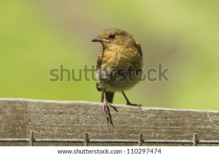 A juvenile robin, latin name Erithacus rubecula, stood on a fence against a very muted natural green toned background. - stock photo