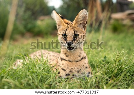A juvenile serval with big green eyes