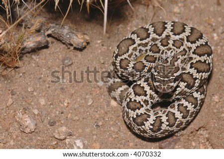 A juvenile southern Pacific rattlesnake from southern California. - stock photo