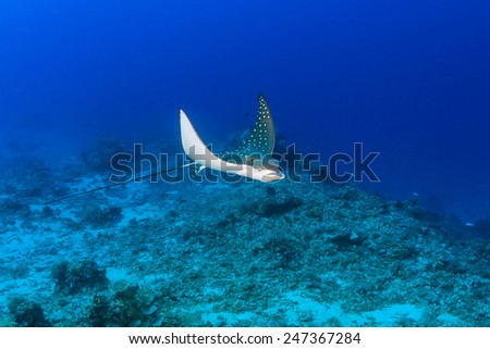 A juvenile Spotted Eagle Ray on a tropical coral reef - stock photo