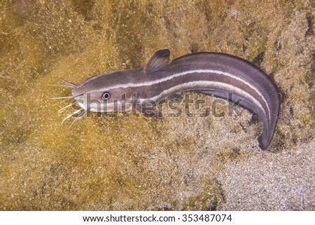 A juvenile striped eel catfish (Plotosus lineatus) over seagrass? - stock photo