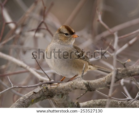 A juvenile White-crowned Sparrow perches in the branches of a small tree as it approaches a bird feeding station in a winter Wisconsin backyard. - stock photo
