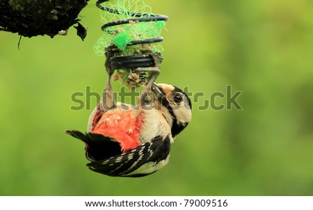 A Juvenile Woodpecker Feeding - stock photo