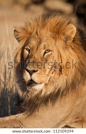 A Kalahari lion after a battle