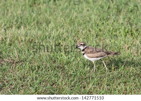 A Killdeer bird walking through some grass, with it's head turned toward the viewer - stock photo