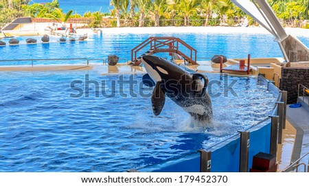 A killer whale getting out of water during a water show. - stock photo