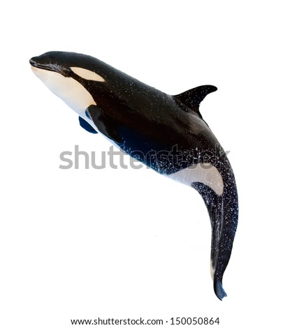 A killer whale, Orcinus Orca, leaping from the water, isolated on white