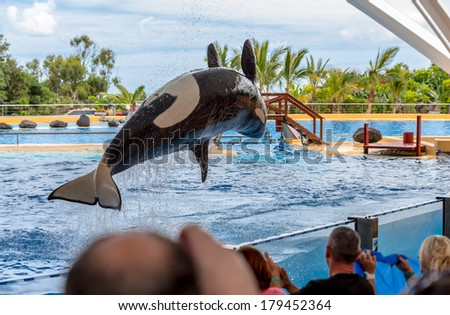A killer whale performing a pirouette during a water show. - stock photo