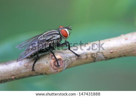 a kind of diptera insects in the wild - stock photo