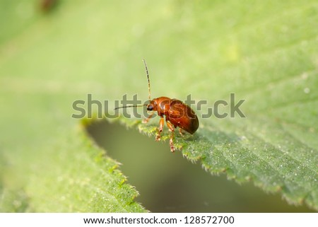 a kind of insects named leaf beetle