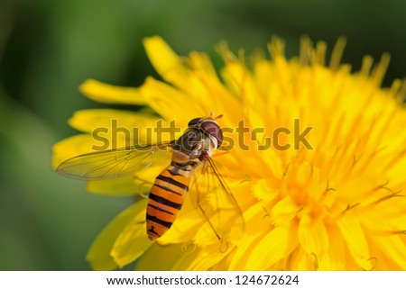 a kind of insects named syrphidae, it is collecting nectar on a dandelion flowers  , nature photographer pictures.