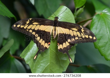 A King Swallowtail butterfly spreads its wings in the gardens. - stock photo