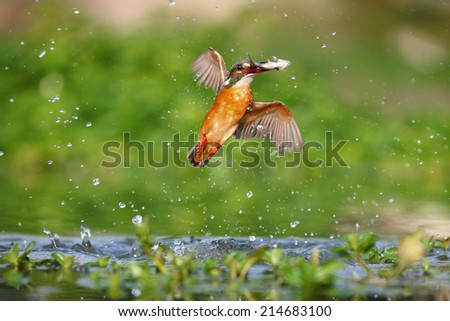 A kingfisher catch a fish - stock photo