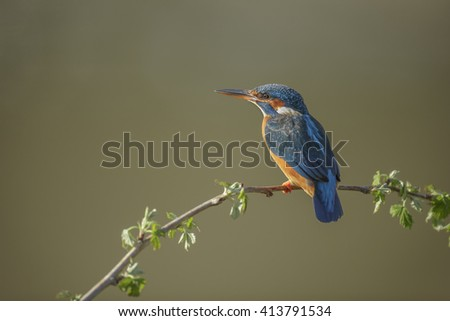 A kingfisher waits for her mate to return with a meal