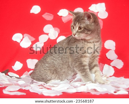 A kitten is showered by white rose petals on a red background for use as valentines day art