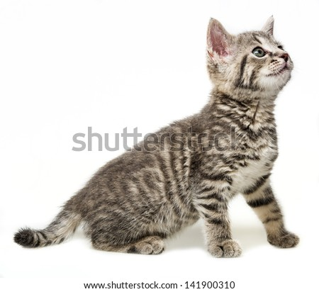 a kitten isolated on a white background
