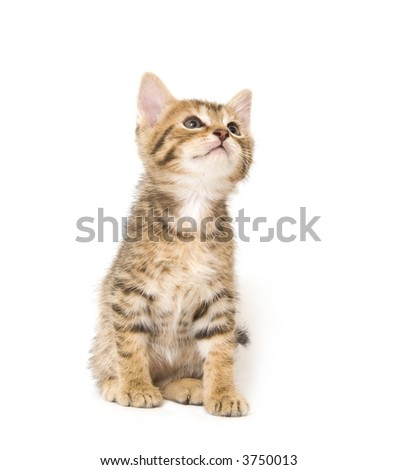 A kitten looks up while standing on a white background
