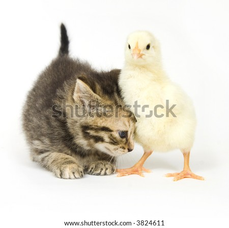 A kitten nudges a baby chick on a white background. Both are being raised on a farm in Illinois - stock photo