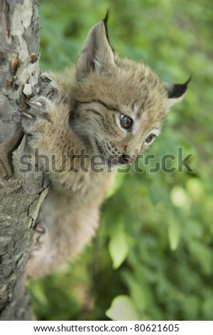 a kitten of lynx is in natural among  in the taiga  of the Seashore  region ,     Russia