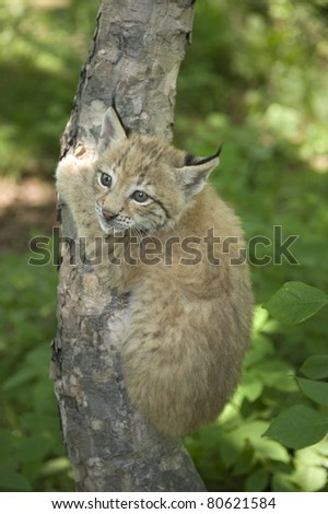 a kitten of lynx is in natural among  in the taiga  of the Seashore  region ,     Russia a kitten of lynx is in natural among  in the taiga  of the Seashore  region ,     Russia