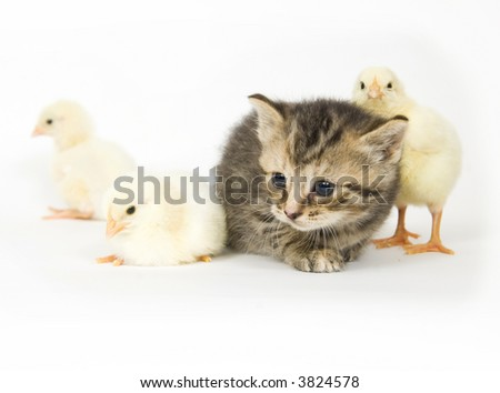 A kitten surrounded by baby chicks on white background. Both are being raised on a farm in Illinois - stock photo