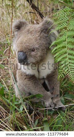 A Koala beside the road at Cape Bridgewater, Australia. - stock photo