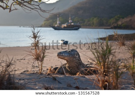A Komodo dragon (Varanus komodoensis) stalks a beach on Horseshoe Bay on Rinca Island in Indonesia. This is quite near the island of Komodo. - stock photo