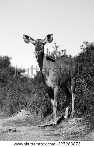 A kudu cow ( antelope ) from South Africa.