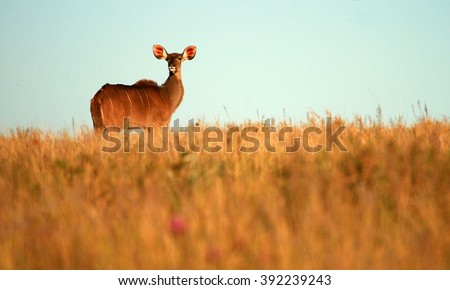 A kudu cow ( antelope ) in an open grass field. This landscape wildlife photo was taken in South Africa