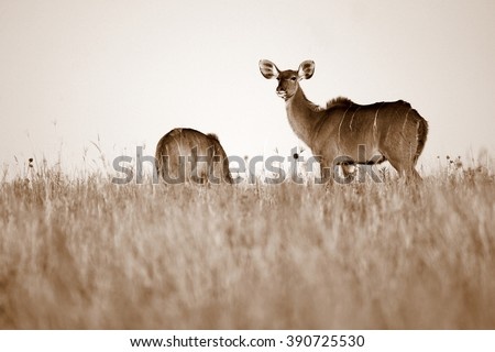 A kudu cow(antelope) in sepia tone from South Africa - stock photo