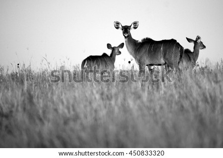A kudu cow (antelope) in sepia tone from South Africa - stock photo
