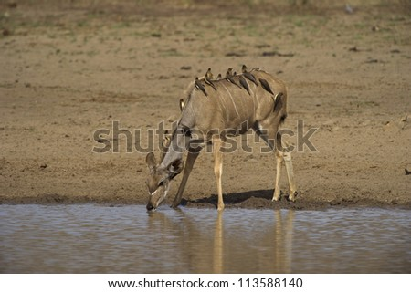 A Kudu Cow with Redbilled Oxpeckers having a drink - stock photo