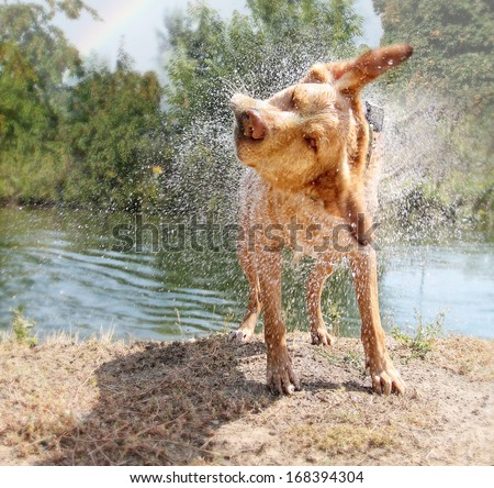 a lab mix shaking off water after swimming in a local river - stock photo