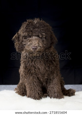 A Labradoodle portrait. Image taken in a studio. - stock photo