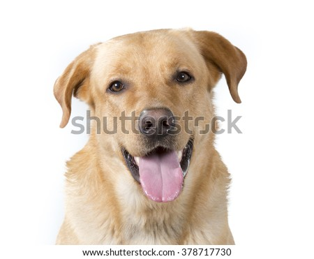 A labrador portrait. Image taken in a studio.