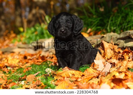 A Labrador Retriever and Standard Poodle mix puppy (also known as Labradoodles) sits in a pile of Autumn leaves in front of a low rock wall. - stock photo
