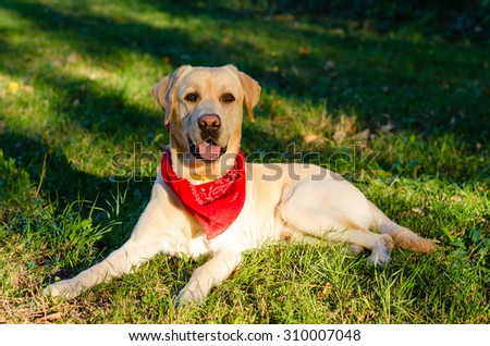 A Labrador Retriever in the park
