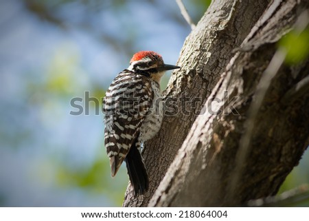 A Ladder-backed Woodpecker (Picoides scalaris) forages in a tree at an Arizona community park. - stock photo
