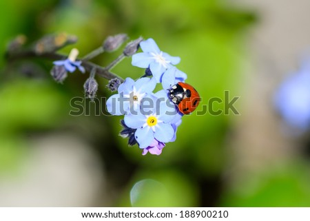 A ladybird or ladybug on a blue flower in springtime  - stock photo