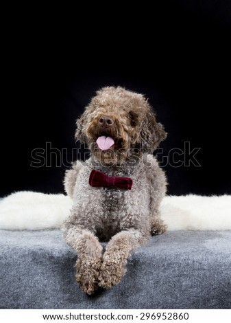 A lagotto romagnolo portrait with a purple bow. Image taken in a studio with a black background. The breed is also known as the truffle dog and the Italian waterdog. - stock photo