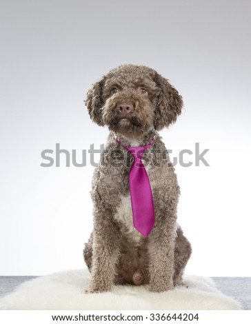 A lagotto romagnolo portrait with a purple tie. Image taken in a studio. The breed is also known as the truffle dog or Italian waterdog. - stock photo