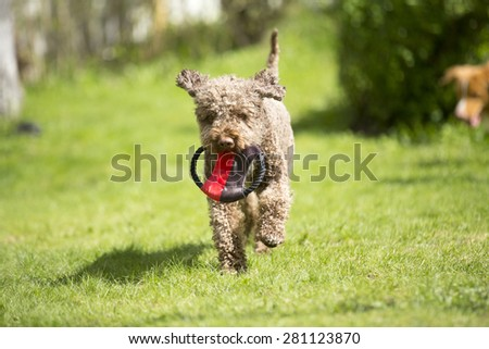 A lagotto romagnolo running towards the camera with a frisbee. - stock photo